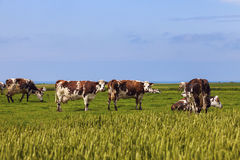 Cows in Normandy Stock Photo