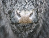 Cows nose Stock Photo