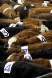 Cows & Numbers. Cattle wear numbers at a Team Penning competition - can represent feeling like just another number, being lost in the crowd, and/or lack of royalty free stock photo
