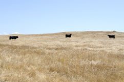 Cows in Oak National Park. Three cows in the dry grass in the Oak National Park California Royalty Free Stock Photos