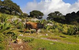 Free Cows, Oaks And Cactus, Nature In San Luis Potosi, Mexico III Stock Photos - 46744763