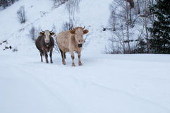 Cows Of The Mountains In Winter