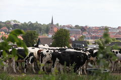 Cows. And old town in the background Royalty Free Stock Photos