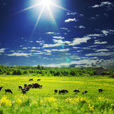 Cows On A Green Field Royalty Free Stock Photo
