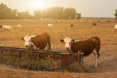 Free Cows On Pasture Royalty Free Stock Photography - 52145857