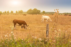 Free Cows On Pasture Stock Photos - 52147503