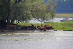 Free Cows On The Edge Of The Biesbosch Stock Photography - 156290252