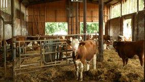OLOMOUC, CZECH REPUBLIC, JUNE 11, 2019: Cows on organic farm farming, feed hay grass silage pets, dairy cows, dairy. Cows on organic farm organic farming, feed stock video