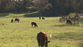 Cows out in the pasture (2 of 4). A view or scene of a farm stock video footage