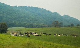Cows out to pasture Stock Images