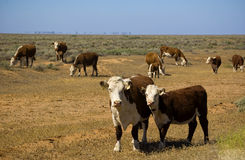 Cows in outback. Cows gathered in the outback Royalty Free Stock Image