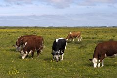 Cows outdoors Royalty Free Stock Images