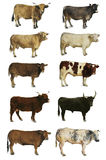 Cows, oxen and bulls Royalty Free Stock Photography
