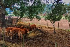 Cows in the paddock eating hay royalty free stock photography