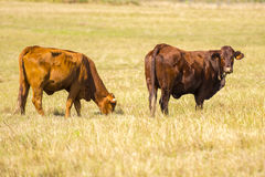 Cows in the paddock Royalty Free Stock Photography