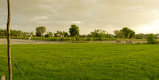 Cows in a Paddy Field Stock Image