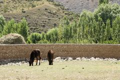 Cows in Pamir, Kyrgyzstan. Two cows in Pamir, Kyrgyzstan Stock Images