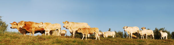 Cows panorama. Panorama of a cattle. Picture was taken in a nature reserve in the Netherlands Stock Photo