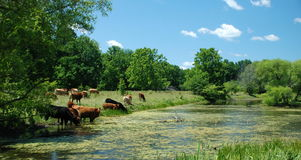Cows in the park Stock Photography