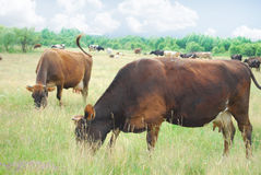 ?cows pasta no prado. Foto de Stock