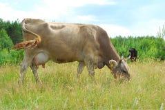 ?cows pasta no prado. Imagem de Stock
