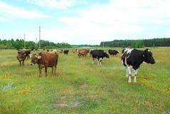 ?cows pasta no prado. Foto de Stock Royalty Free