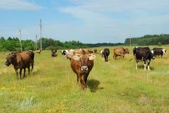 ?cows pasta no prado. Fotos de Stock Royalty Free