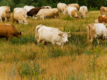 Cows   pasture Royalty Free Stock Image