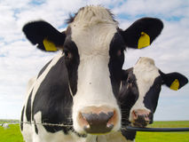 Cows on pasture. Two cows on pasture in northern Germany Royalty Free Stock Photo