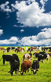 Cows in pasture. Cows grazing in a green pasture on sustainable small scale farm Royalty Free Stock Photo