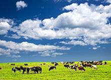 Cows in pasture. Cows grazing in a green pasture on sustainable small scale farm Royalty Free Stock Photography