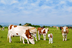 Cows on pasture. Cows and calf on pasture royalty free stock image