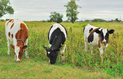Cows on a pasture Stock Image