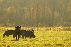 Cows in the pasture. Cows in a pasture with morning mist Royalty Free Stock Images