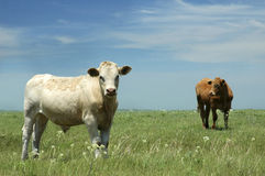 Cows at Pasture. Cows in lush pasture in Kansas Royalty Free Stock Image