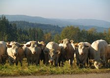 Cows on a pasture. White cows on a pasture in the evening Stock Photography