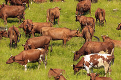 Cows on a pasture. Royalty Free Stock Images