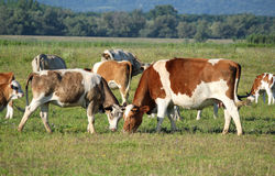 Cows in pasture Stock Photos