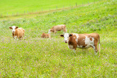 Cows on pasture Stock Photo