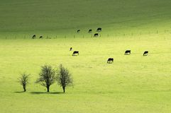 Cows in pasture royalty free stock photography