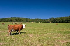 Cows on the pasture. Cows on the spring pasture in midday royalty free stock image