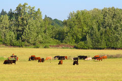Cows in a pasture Stock Photography