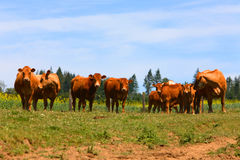 Cows in a pasture Royalty Free Stock Photos