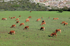 Cows on a pasture Stock Images