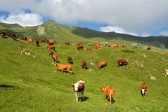 Cows in the pasture. Brown cows in the pasture of Alps Royalty Free Stock Photos