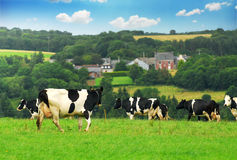 Cows in a pasture. Cows grazing in a green pasture in rural Brittany, France Stock Photo
