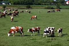 Cows in pasture. Cows grazing in the pasture at farm Stock Photography
