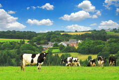 Cows in a pasture. Cows grazing on a green pasture in rural Brittany, France Royalty Free Stock Photo