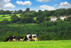 Cows in a pasture. Cows grazing on a green pasture in rural Brittany, France Royalty Free Stock Images