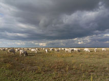 Cows in a pasture. With cloudy blue sky at the background Stock Photography